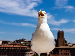 seagull in front of the camera. bird with an open beak. seagull close up