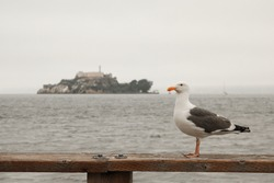 Seagull in front of the infamous Alcatraz Island, San Francisco, California - United States of America aka USA