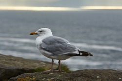 Seagull in Ireland