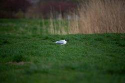 Seagull in the green grass. Spring day