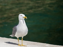 Seagull in the sea