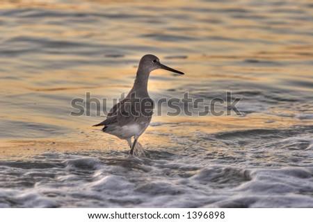 seagull in the water, seagulls, bird, birds, beach, sand, ocean, sea, water waves, sunset, light, dusk, foamy, birding, florida