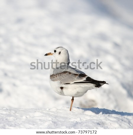 Seagull in the winter snow