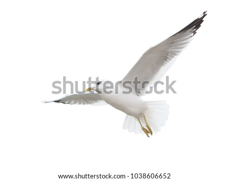 Seagull inhabiting the coast of the Caspian Sea. In flight. Isolated.