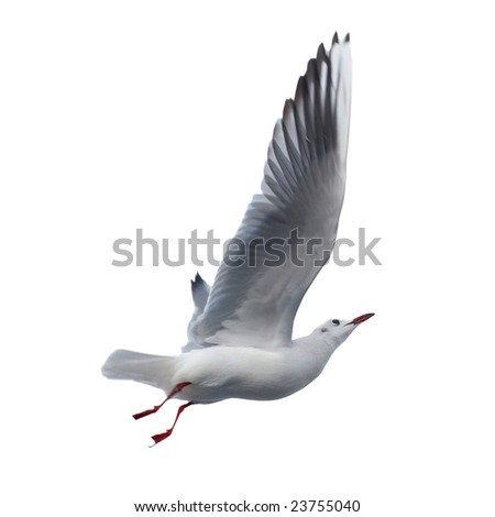 Seagull isolated on white background. - stock photo