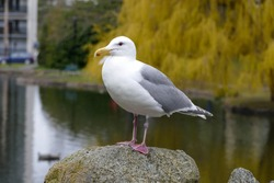 Seagull keeping watch in Beacon-Hill-Park, Victoria