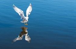 Seagull landing on the water close up shot, soft focus, reflection on water.
