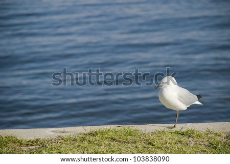 Seagull on a ledge by the Swan River, Perth, Australia,
