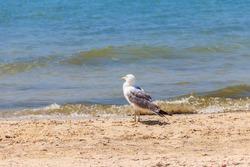 Seagull on a sandy beach of the Black sea