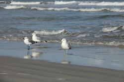 seagull on Atlantic coast of Florida