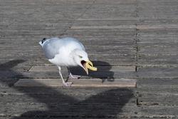 Seagull on Brighton Pier eating a potato chip.