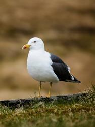 Seagull on grass roof on the Faroe Islands near Tórshavn