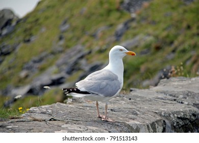 Stock Photo Seagull on a Rock Wall