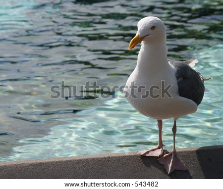Seagull on the edge of a pool