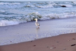 Seagull on the sea cost on the background of splashing waves in sunset light.