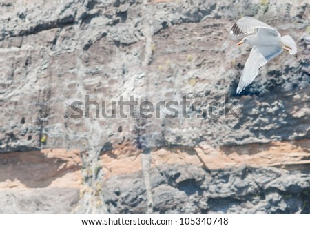 Seagull on the volcanic rock background