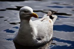 Seagull on the water. Big bird with yellow beak. Marine animals in northern europe.
