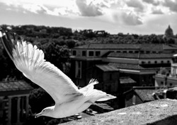 Seagull on top of a building takes flight, in the background out of focus panorama of Rome with St. Peter's Basilica, black and white photo.