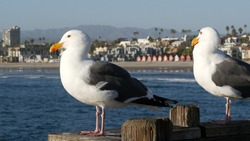 Seagull on wooden pier railings. Bird close up and palm trees in Oceanside. California waterfront pacific ocean tropical beach resort, USA. Summertime sea coastline vacations. Beachfront houses.
