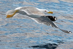 Seagull outdoor sea fly freedom