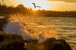 Seagull over the waves on the background of the sunset. Golden splashes of waves. By the sea