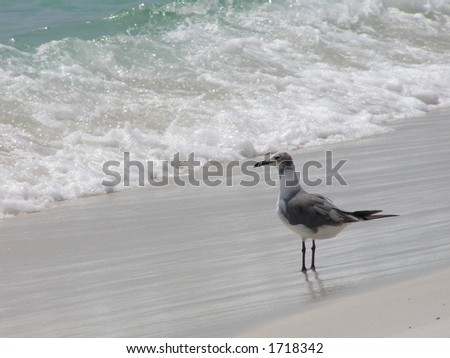 Seagull overlooking surf on the Gulf of Mexico.