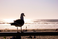 seagull overlooking the sea from a Californian beach