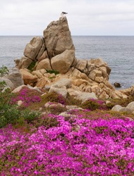 Seagull perches on a rock with purple ice plants in the foreground