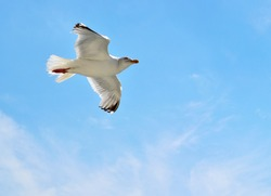 Seagull photographed from below against a dark blue sky floating on the upward airstream from the boat it is flying near