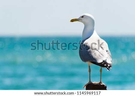 Seagull portrait against sea shore. Close up view of white bird seagull sitting by the beach. Wild seagull with natural blue background.