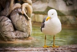 seagull portrait in roman fountain in  navona