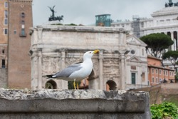 Seagull resting on stone wall in the Roman Forum. Friendly seagull against the backdrop of the Arch of Septimius Severus at the Forum Romanum, Rome, Italy