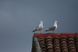 Seagull resting on the tiles of a red city roof