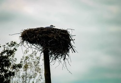 Seagull rests in stork's nest