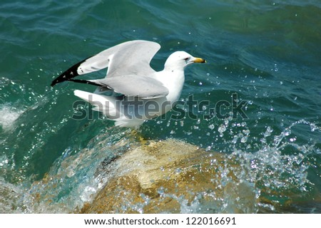 seagull (sea bird) standing on rock on lake