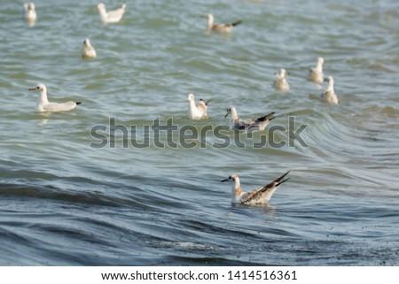 Seagull seabird float in blue sea. European herring gull, Mediterranean Yellow legged gull (Larus argentatus, Larus michahellis, Laridae). Natural texture water surface, wave movement marine pattern.