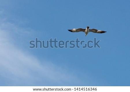 Seagull seabird flying in bright blue sky, wide spreded wings, white clouds. Freedom in flight. European herring gull, Mediterranean Yellow legged gull (Larus argentatus, Larus michahellis, Laridae).
