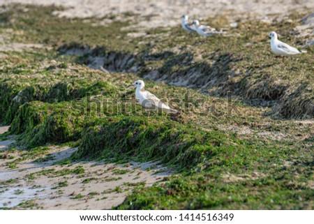 Seagull seabird on beach. European herring gull, Mediterranean Yellow legged gull (Larus argentatus, Larus michahellis, Laridae). Natural texture sand, water surface, green seaweeds marine pattern.