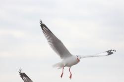 seagull, seagulls, flying seagull, flying bird, bird, flying