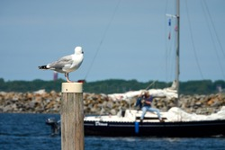 Seagull sits on mast, in the background sailing boat out of focus. Den Osse, Netherlands.
