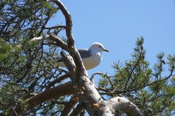 Seagull sitting on a pine tree on a sunny day.