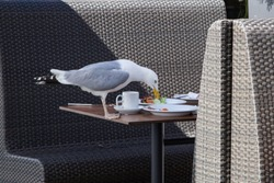 Seagull sitting on the table in restaurant. People went away and the bird eats meal which remains on plates.