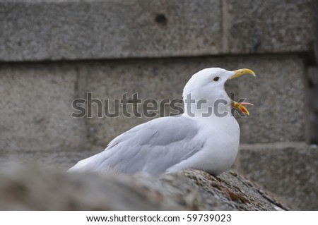 Seagull sitting on wall screaming with beak wide open.