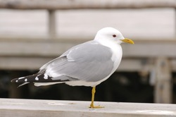 Seagull stand on one leg. Selective focus