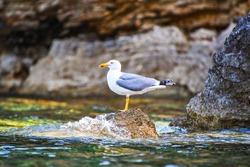 Seagull standing at rocky coast in Chrisi Milia area, Alonnisos island, Sporades Aegean sea, Greece