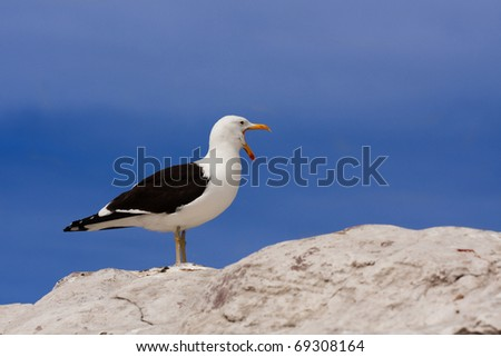 seagull standing on a rock with wide open mouth calling