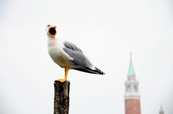 Seagull standing on a wooden post.