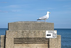 Seagull standing on concrete street furniture above an emergency telephone public information sign