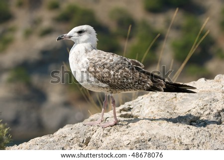 seagull staying on stone over mountains background