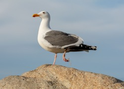 Seagull suffering from fishing line on its foot side view on rock against the blue sky